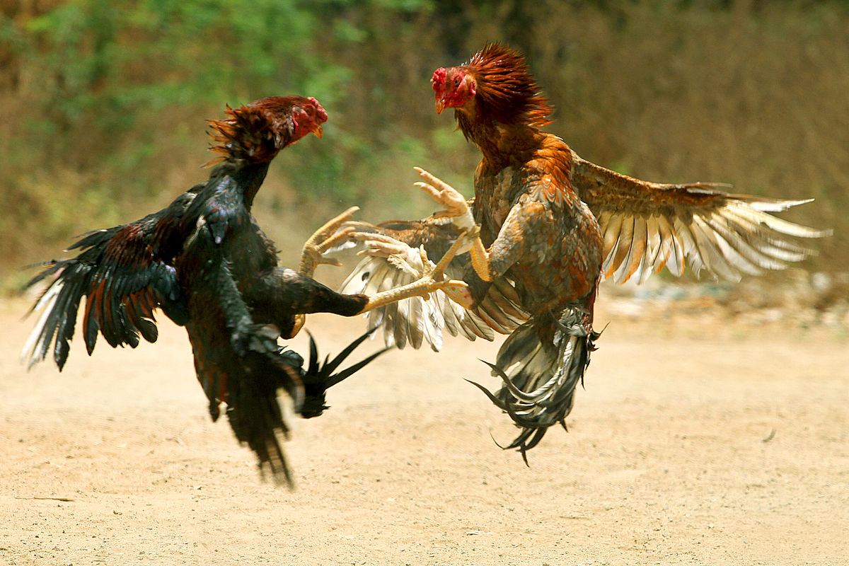 Main Judi Online Sabung Ayam