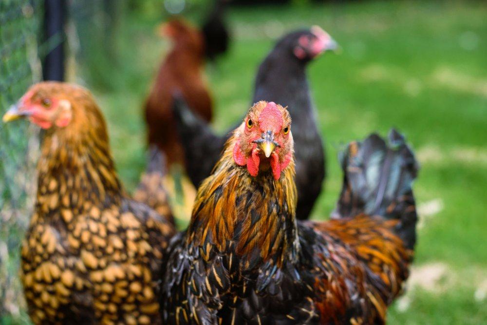 Langkah-langkah dan Cara Bermain Judi Sabung Ayam untuk Pemula di S128